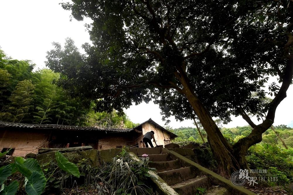 合江县境内有100年以上的荔枝52群、812株,其中福宝镇鲤鱼村半边潭土著荔枝树龄达400年以上。