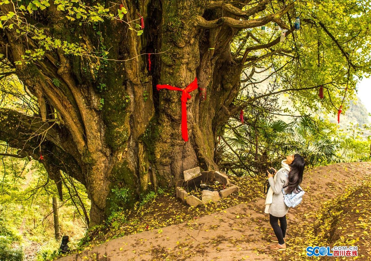 微信头像风景古树